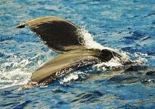 Cola de la ballena de Humpback Fotografía de archivo libre de regalías