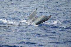 Cola de la ballena de Humpback en el océano Imagen de archivo