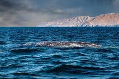 Cola de la ballena gris que entra abajo en el océano en la puesta del sol Imagenes de archivo
