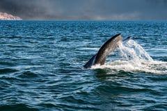 Cola de la ballena gris que entra abajo en el océano en la puesta del sol Fotos de archivo libres de regalías