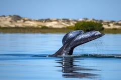 Cola de la ballena gris que entra abajo en el océano en la puesta del sol Imágenes de archivo libres de regalías