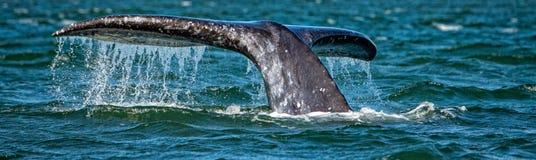 Cola de la ballena gris que entra abajo en el océano en la puesta del sol Imagen de archivo