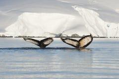 Cola de la ballena jorobada Imágenes de archivo libres de regalías