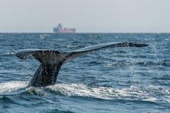 Cola de la ballena jorobada - Columbia Británica, Canadá foto de archivo