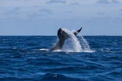 Cola de la ballena jorobada en Atlántico Imágenes de archivo libres de regalías