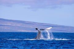 Cola de la ballena jorobada en el océano de Maui Hawaii imagenes de archivo