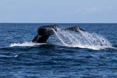 Cola de la ballena jorobada que desaparece en el mar Imágenes de archivo libres de regalías