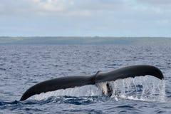 Cola de la ballena jorobada que entra abajo en el mar polinesio azul Imágenes de archivo libres de regalías