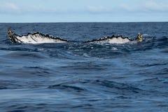Cola de la ballena jorobada que entra abajo en el mar polinesio azul Fotografía de archivo libre de regalías