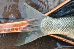 Cola de los pescados Imágenes de archivo libres de regalías