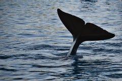 Cola de la orca Imagen de archivo libre de regalías