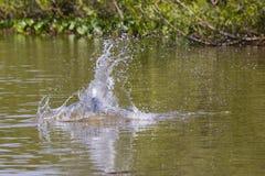 Cola de ocultación de río del chapoteo congelado del agua del martín pescador del salto Fotografía de archivo libre de regalías