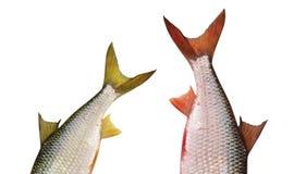 Cola de un pescado en blanco fotos de archivo