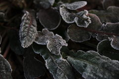 Cola de zorra de Frost Foto de archivo libre de regalías
