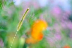Cola de zorra y flor Fotografía de archivo libre de regalías