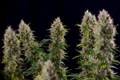 Cola del cáñamo y x28; Strain& diesel amargo x29 de la marijuana; con tricho visible Fotografía de archivo libre de regalías