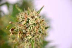 Cola del cáñamo y x28; Strain& diesel amargo x29 de la marijuana; con tricho visible Imagen de archivo libre de regalías
