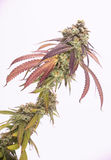 cola del cáñamo y x28; Strain& x29 de la marijuana de Mangopuff; con los pelos visibles Imagen de archivo
