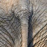 Cola del elefante Fotografía de archivo libre de regalías