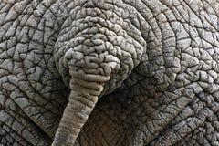 Cola del elefante Foto de archivo libre de regalías