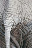 Cola del elefante africano Imagen de archivo libre de regalías