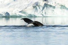 Cola del humpback Foto de archivo libre de regalías