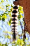 Cola del lémur Fotos de archivo libres de regalías