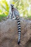 Cola del lémur Fotos de archivo
