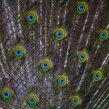 Cola del pavo real Fotografía de archivo