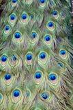 Cola del pavo real Imagenes de archivo