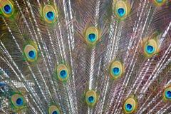 Cola del pavo real Foto de archivo libre de regalías