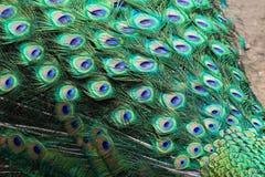 Cola del ` s del pavo real Fondo fotos de archivo libres de regalías