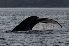 Cola del salto de la ballena Foto de archivo libre de regalías