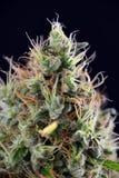 Cola do cannabis & x28; Strain& diesel ácido x29 da marijuana; com tricho visível Fotos de Stock Royalty Free
