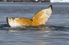 Cola jorobada que se zambulle en las aguas del summe antártico Foto de archivo