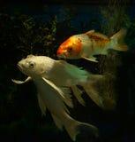 Cola larga de los pescados blancos del koi foto de archivo libre de regalías
