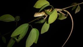Cola larga del lagarto Fotos de archivo libres de regalías