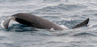 Cola marcada con una cicatriz de la orca adulta del salto, canal del beagle, Chile imagenes de archivo