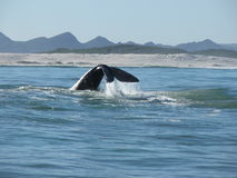Cola meridional de la ballena derecha Fotos de archivo