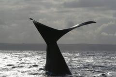 Cola meridional de la ballena derecha Foto de archivo libre de regalías