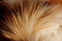 Cola mullida del gato rojo Fotos de archivo libres de regalías