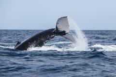 Cola que lanza de la ballena jorobada en la superficie fotografía de archivo