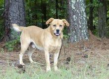 Cola que menea de Labrador del perro amarillo del golden retriever Fotografía de archivo libre de regalías