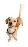 Cola que menea del perro de Chiweenie Foto de archivo