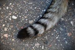 Cola rayada del gato Foto de archivo libre de regalías
