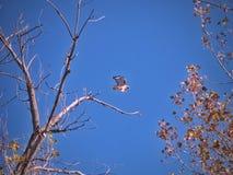 Cola roja Hawk In Flight Late Autumn fotografía de archivo