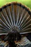 Cola salvaje del ventilador de Turquía (gallopavo del Meleagris) fotografía de archivo libre de regalías