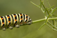 Cola-a-trago de la mariposa de Caterpillar - machaon de Papilio imagen de archivo