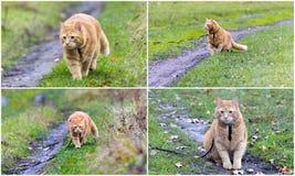 Colagem - andando o gato na trela imagem de stock royalty free