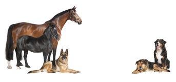 Colagem branca do fundo dos cães dos cavalos Fotos de Stock Royalty Free